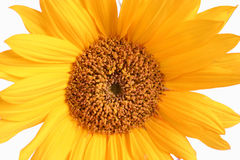 Sun Flower. Lovely Sun Flower royalty free stock images