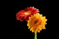 Sun flower. Flower heads, studio capture of sunflower, red, yellow Stock Image