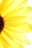 Sun Flower. Brite Sun Flower Royalty Free Stock Images