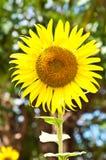 Sun flower. In the morning at Pak Thong Chai, Nakhon Ratchasima Thailand Stock Photos