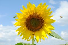 Free Sun Flower Stock Images - 20910224