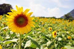 Sun Flower. In the morning in Thailand Stock Photos
