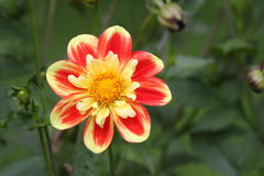 Sun Flower. Beautiful flower in red and yellow shines like a sun Stock Photos