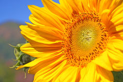 Sun flower. In the garden Royalty Free Stock Photography
