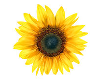 Free Sun Flower Royalty Free Stock Image - 26634556