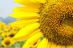 Sun flower Royalty Free Stock Image