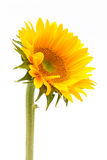Sun flower Stock Images