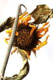 Sun-flower Stock Image