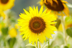 Sun flower. Stock Photography