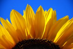 Sun flower Royalty Free Stock Image
