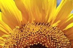 Free Sun Flower Stock Photo - 4387490