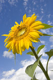 Sun-flower Royalty Free Stock Photo
