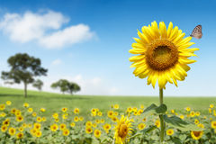 Sun flower. And blue sky on sunny day Royalty Free Stock Image