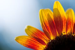 Sun flower abstract Royalty Free Stock Images