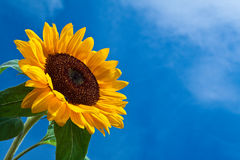 Sun flower against a blue sky Royalty Free Stock Image