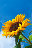 Sun flower against a blue sky Stock Images