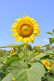 Sun flower against  blue sky Royalty Free Stock Images