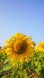 Sun flower Stock Images