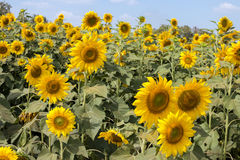 Sun flower against a blue sky.  Royalty Free Stock Photos