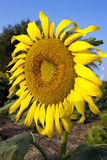 Sun flower against blue sky Stock Photography