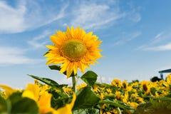 Sun flower against a blue sky Stock Image