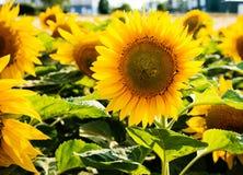 Sun flower against a blue sky Stock Images