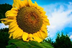 Sun flower against a blue sky Stock Photography