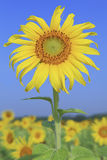 Sun flower against blue sky. Field of sun flower against the blue sky Royalty Free Stock Photography