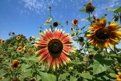Sun flower against blue sky Royalty Free Stock Image
