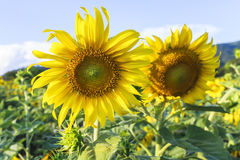 Sun flower against a blue sky,Thailand. Royalty Free Stock Photography