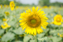 Sun flower Royalty Free Stock Photography