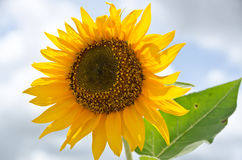 Sun flower. A beautiful blooming sun flower Royalty Free Stock Photos