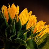 Sun flower. This is a beautiful detail of a sun flower royalty free stock image