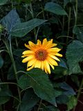 Sun flower. Beautiful flower among green leafs Royalty Free Stock Images