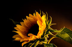 Sun flower 2. This is a beautiful portrait of a sun flower royalty free stock photography
