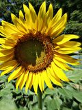 Sun flower. Is beauty Stock Image