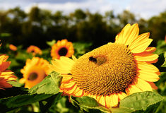 Sun flower with a bee Stock Photography
