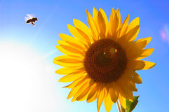 Sun Flower Bee Stock Photography
