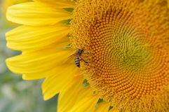 Sun flower and bee Royalty Free Stock Photo