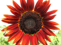 Sun Flower with Bee. Red sunflower full bloom with bee at Loburi, Thailand.(helianthus annuus Royalty Free Stock Images