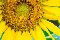 Sun flower and bee Stock Photo