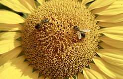Sun Flower, Bees, Yellow, Plant Royalty Free Stock Photos