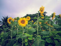 Sun Flower at Benchakitti Park Stock Photography
