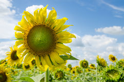 Sun flower. A Big sun flower with blue sky Stock Image