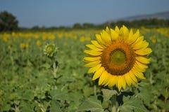 Sun flower royalty free stock photography