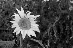 Sunflower In Black And White. A sun flower in black and white shows extreme contrast to the green vegetation in the background Stock Image