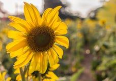 Sun flower blacklight Stock Photos