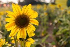 Sun flower blacklight Royalty Free Stock Image