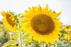 Sun flower blacklight Stock Images