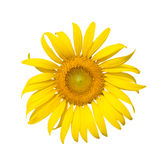Sun flower blooming. Isolated on white background Royalty Free Stock Photo